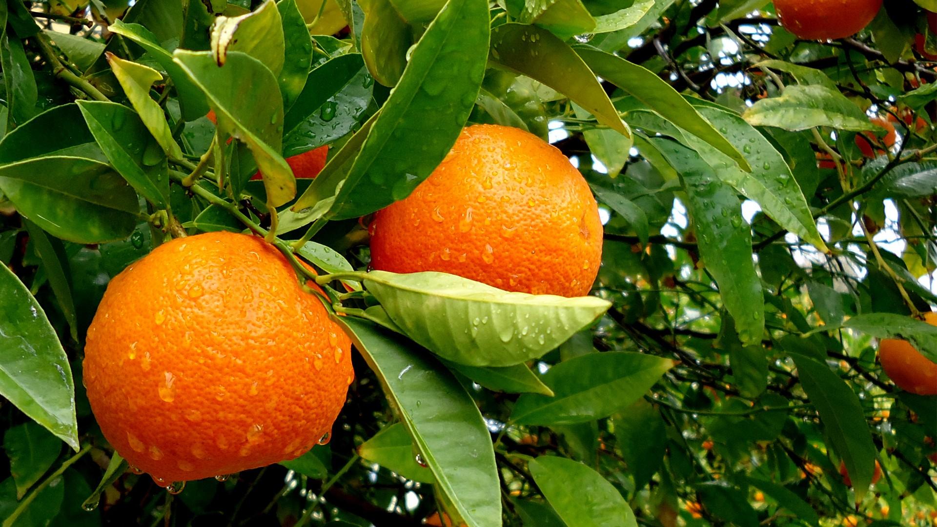 derevo-frukt-apelsin-listya